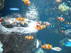 Large Clown Fish Aquarium-This tank is gorgeous!