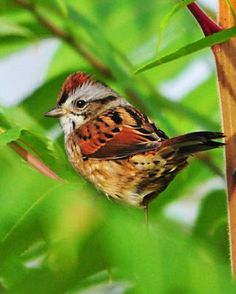 Swamp Sparrow (Melospiza georgiana) is a medium-sized sparrow. Swamp Sparrows breed across the Northern United States and boreal Canada.