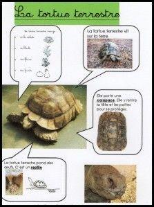 Les animaux - la tortue.