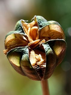 fritillary seed pod by Vernon Hyde. Creative Commons : Some Rights Reserved Garden Seeds, Planting Seeds, Planting Flowers, Dame Nature, Photo Stock Images, Seed Pods, Natural Forms, Amazing Nature, Dried Flowers