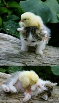 SO CUTE! Kitty + chick