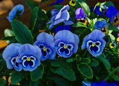 Музыкальные Обои, Цветочные Обои, Синие Цветы, Красивые Цветы, Синий Сад, Сады, Синие Ногти, Мысли, Ручные Веера