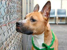 TO BE DESTROYED - SATURDAY - 4/19/14  Manhattan Center    My name is WILLY. My Animal ID # is A0996597.  I am a male tan and white pit bull mix. 4 YEARS old.   STRAY on 04/13/2014