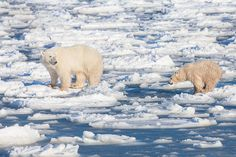 Mother polar brings her young out to learn how to transverse the ice. Winter has started and this skill is vital to surviving the elements as seal hunting begins. See our featured video on our blog at http://www.lancebcarter.com/blog/category/videos/. Photo © copyright by Lance Carter. #photography #fineart #wilderness #polar #bear