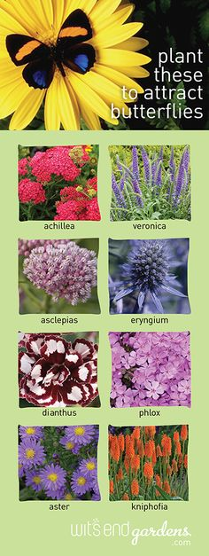 Some of our favorite perennials for butterflies in the garden.