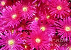 Photograph of pink daisies. Other artwork by Sharon Patterson may be viewed at: http://1-sharon-patterson.fineartamerica.com AND http://canstockphoto.com/stock-image-portfolio/SharonPatterson AND http://www.bigstockphoto.com/search/?contributor=Sharon%20Patterson&safesearch=n