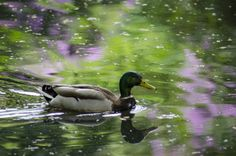 lazy duck