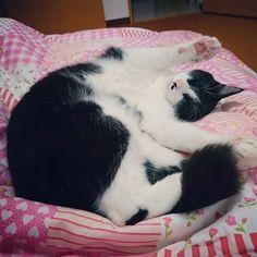 さぁおいで👍🎵 * #lovecats #はちわれ #ハチワレ #ねこ #ネコ #ねこすたぐらむ  #ニャンダフルライフ #ちょびひめ #ねこ部 #ハチワレ部 #猫 #ニャンスタグラム #ウチの猫 #今日も可愛い #cat #cats #adorable #catstagram #instacats #maskandmantle #lovely #cute #nekostagramg #pet #ilovemycat #愛猫 #雑種猫 #みんねこ #ねこのきもち部