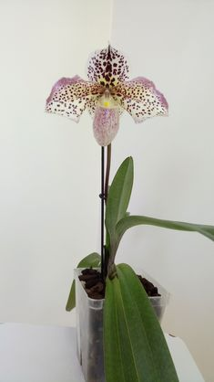"Paphiopedilum French Cancan ""Micheline"" - Slippertalk Orchid Forum- The best slipper orchid forum for paph, phrag and other lady slipper orchid discussion!"