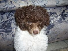 Chocolate and white poodle