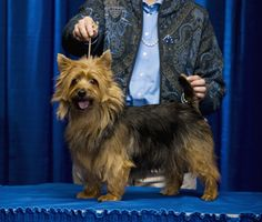 How do we get started showing our dog in the dog show?