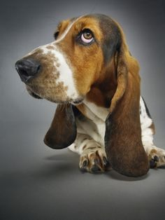 """Basset Hound Is this a look showing he is hoping he isn't """"caught"""" for a transgression?"""
