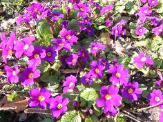 Primula. Eind maart 2014