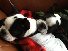 Cute Boston Terriers sleeping!!