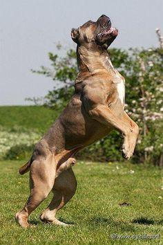 Cane Corso from Russia, beautiful specimen! Giant Dog Breeds, Giant Dogs, Large Dog Breeds, Mastiff Breeds, Mastiff Puppies, Dogs And Puppies, Doggies, British Mastiff, Animals And Pets