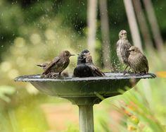 Tévhitek a leander ápolásáról - Kertészkedek.hu Heated Bird Bath, World Birds, How To Attract Birds, Network For Good, Backyard Birds, Drinking Water, Beautiful Creatures, Pet Care, Fresh Water