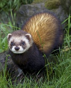 Polecat  (Mustela putorius putorius) In our garden...Iller