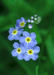 Forget-me-not flowers. Could never forget, but miss her every single day. That's why I have these flowers permanently tattooed on my side.