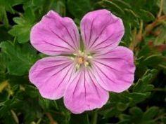 """Geranium sanguineum """" Canon Miles """" - kakost Zahradnictví Krulichovi - zahradnictví, květinářství, trvalky, skalničky, bylinky a koření"""