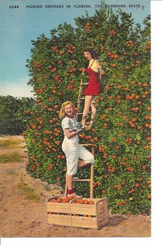 VINTAGE POSTCARD - PICKING ORANGES IN FLORIDA, THE SUNSHINE STATE.