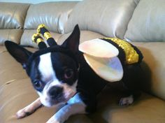 Boston Terrier Costume - Bee