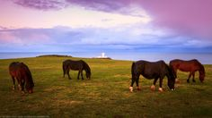 Horses at Strumble Head Lighthouse, Tresinwen, Pembrokeshire, Wa by Joe Daniel Price on