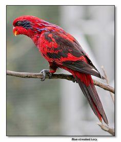 pbase.com 'Red streaked Lory'
