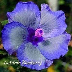 Autumn Blueberry Hibiscus, Hibiscus Seeds, 10 Seeds, Perennial Hibiscus, Hibiscus Flower Idahoseeds http://www.amazon.com/dp/B00LIF0E7A/ref=cm_sw_r_pi_dp_uCaowb16K7R5E