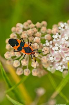 Milkweed bug by photosuze, via Flickr