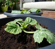 Baby bolcourgette plant