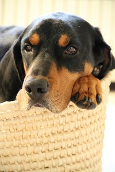 Solomon (Black and Tan Coonhound) by alysiaalysia, via Flickr