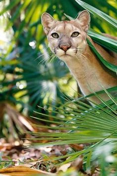 Florida Panther ... Cougar
