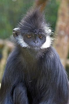 Francois' Langur (Trachypithecus francoisi) photographed by Ellen van Yperen at Blijdorp, Rotterdam, The Netherlands on June 2014 Planeta Animal, Los Primates, Animals Beautiful, Cute Animals, Slow Loris, Ape Monkey, Baboon, Mundo Animal, All Gods Creatures