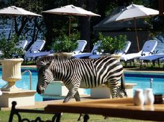 Yes, that is a zebra by the pool. {Royal Livingstone Hotel, Zambia.}