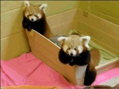 Red Pandas (GIF)