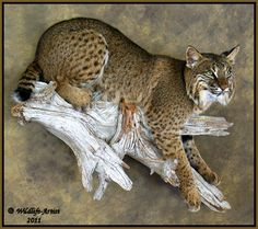 Best Bobcat Mount | Details about Bobcat Taxidermy NEW Mount Fur Hunting Cabin Lynx Fox ...