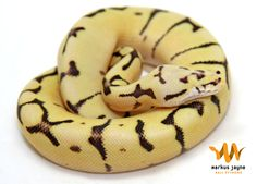 http://www.worldofballpythons.com/files/articles/when-you-see-it/eyeless1-1.jpg