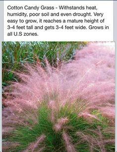 Cotton Candy Grass ~ღ~