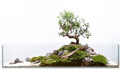 "fuck-yeah-aquascaping: "" petiteplanet: "" portulacaria afra terrarium, 75cm "" Aquascaping-inspired moss terrarium in a shallow glass tank, featuring a Portulacaria afra bonsai – the product of this afternoon :) #like """
