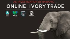 Crunching the numbers on Hawaii's online ivory trade market | IFAW.org