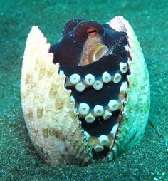 An octopus in a clam shell
