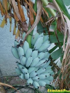 The Blue Java is a hardy, cold tolerant banana cultivar known for its sweet aromatic fruit which is said to have an ice cream like consistency and flavor reminiscent of vanilla Unusual Plants, Exotic Plants, Exotic Flowers, Weird Fruit, Strange Fruit, Banana Plants, Fruit Plants, Banana Seeds, Geranium Macrorrhizum