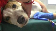 About dog blood donors and how to become one