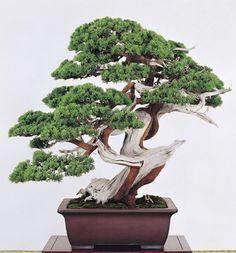 Bonsai Plants, Bonsai Garden, Bonsai Trees, Juniper Bonsai, Mini Bonsai, Single Tree, Tiny World, Tree Art, Ikebana