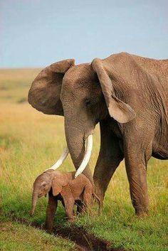 Baby olifant van een uur oud.