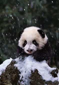 Oh I adore pandas already, but this has to be the most adorable picture I've seen yet!