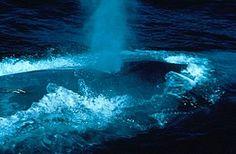 Vroege Vogels: Noren doden recordaantal walvissen