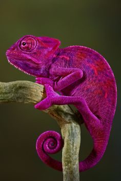 I'll be straight up with you, chameleon, I don't think this look is working for you. ~~~ Pink chameleon