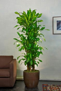 Corn Plant, one of the easiest indoor plants and it does well in low light spaces too!Your Online Indoor Plants Nursery and Pots Store. The most convenient way to buy House Plants and Office Plants In Houston.Dracaena massangeana cane is the best int Indoor Plant Pots, Best Indoor Plants, Indoor Garden, Potted Plants, Potted Garden, Veg Garden, House Plants Decor, Plant Decor, Easy House Plants