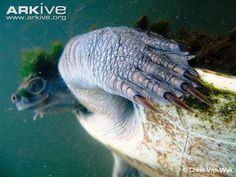 Mary River turtle underwater